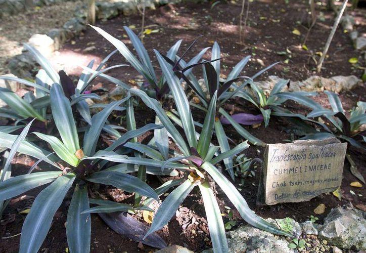 En la reserva natural de Tabi se contará con un pequeño vivero que garantizará el manejo de la plantas a los médicos tradicionales y a los investigadores para sus estudios. (Agencias/Notimex)