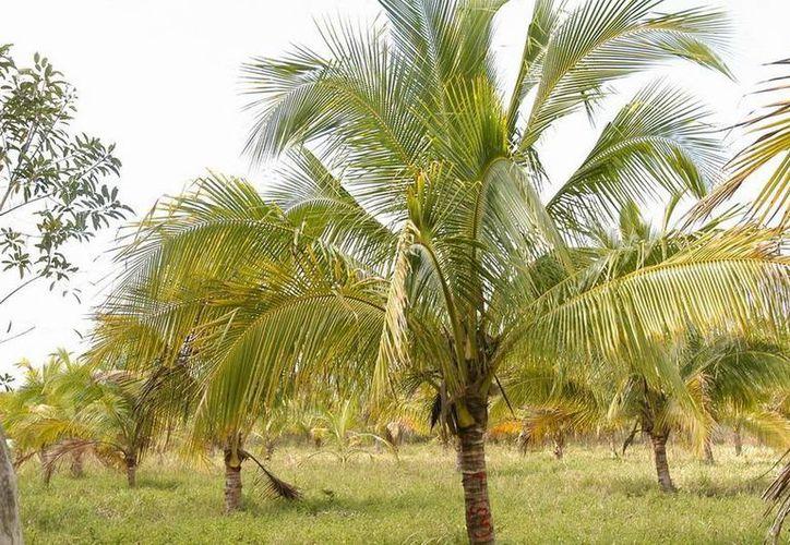 Se fomentan 418 hectáreas para el cultivo de papaya y pitahaya, así como el cultivo mecanizado. (Redacción/SIPSE)