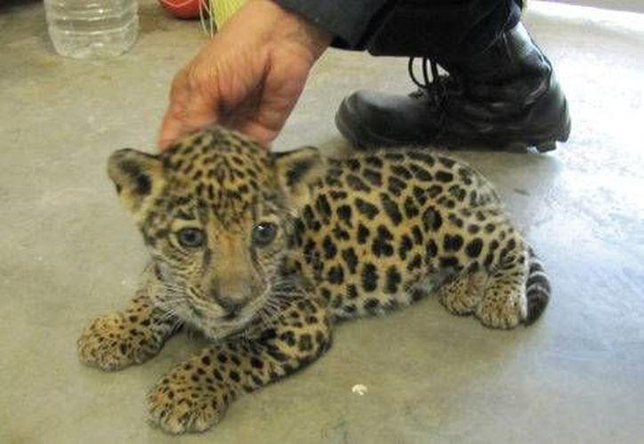El cachorro fue asegurado y depositado de manera temporal en el Zoológico de Culiacán. (Foto: especial tomada de Milenio)