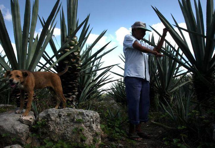 A principios del siglo XX la actividad fundamental en Yucatán era la industria henequenera. (Milenio Novedades)