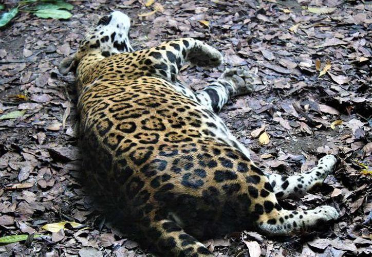 En este año van tres jaguares atropellados y ONG´s piden a las autoridades señaléticas de prevención en carreteras de Quintana Roo. (SIPSE)