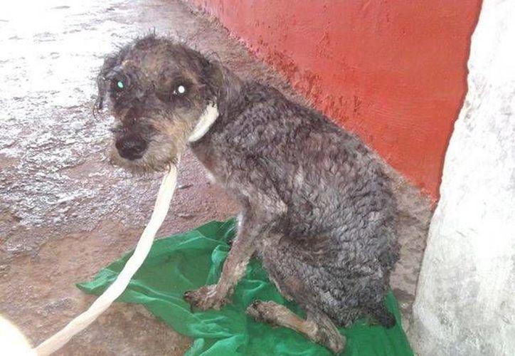 Perro en situación de sarna es rescatado por la AFAD. (Manuel  Pool/SIPSE)