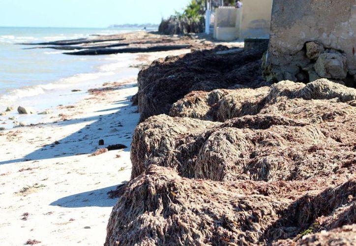 Los arenales han desaparecido en varias zonas de la costa de Chicxulub Puerto. (Milenio Novedades)