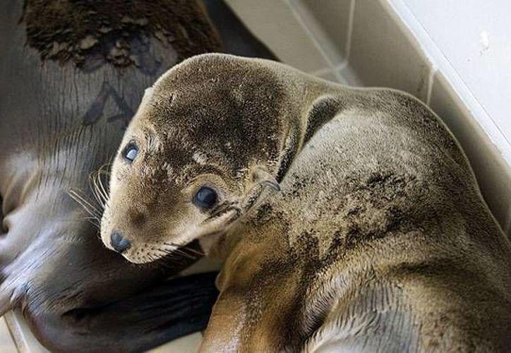Primero se pensó que lo que cuatro personas colocaron en una manta para huir de una playa en Los Angeles era un cachorro de foca pero se determinó que era un león marino. (schnauzi.com)