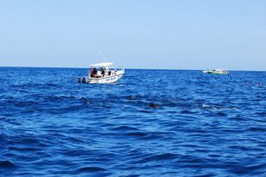 Se retrasa el nado con el <i>Tiburón Ballena</i>