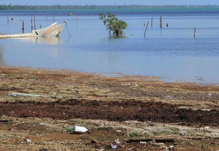 La UNAM y Ecosur realizaron investigaciones respecto a la afectación que tuvo la llegada masiva de sargazo en Quintana Roo. (Ángel Castilla/SIPSE)