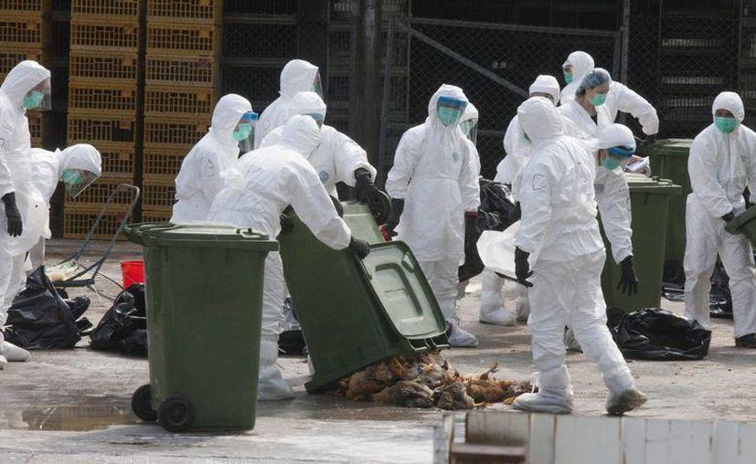 Trabajadores del Departamento de Salud de Hong Kong guardan en bolsas algunos de los 20.000 pollos que fueron sacrificados en una granja tras descubrirse un caso de contagio de gripe aviar. (EFE)