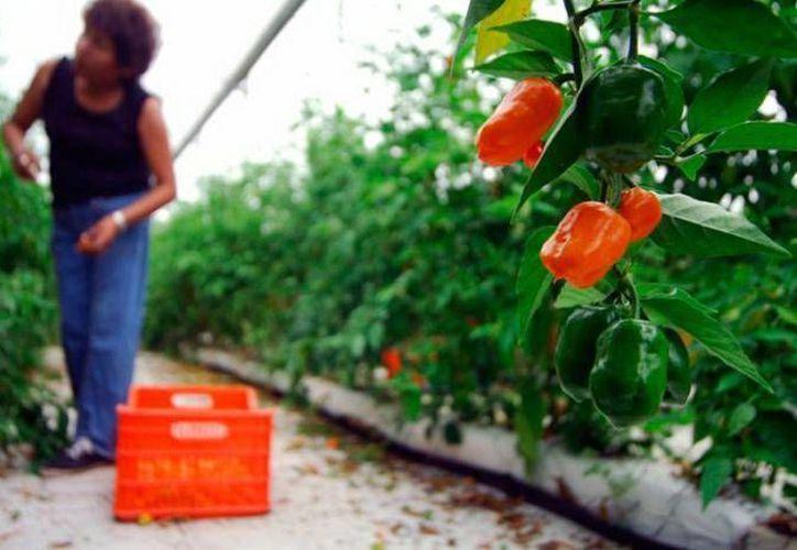 Autoridades de Desarrollo Social en la Península de Yucatán se reunieron para conocer los avances sobre las primeras certificaciones. Imagen de contexto de un invernadero de esta planta. (Milenio Novedades)