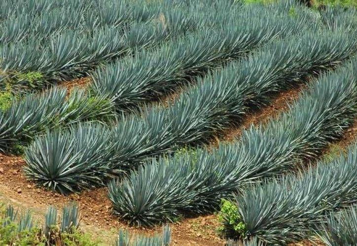 Se sembrarán siete hectáreas de agave en el ejido Lázaro Cárdenas. (Notimex)