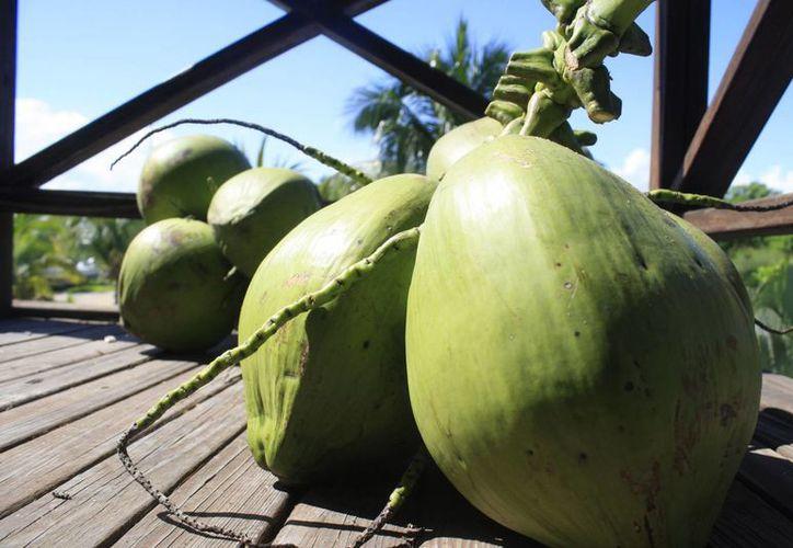 En Othón P. Blanco hay poco más de 400 hectáreas de plantas de coco sembradas y distribuidas en seis ejidos. (Harold Alcocer/SIPSE)