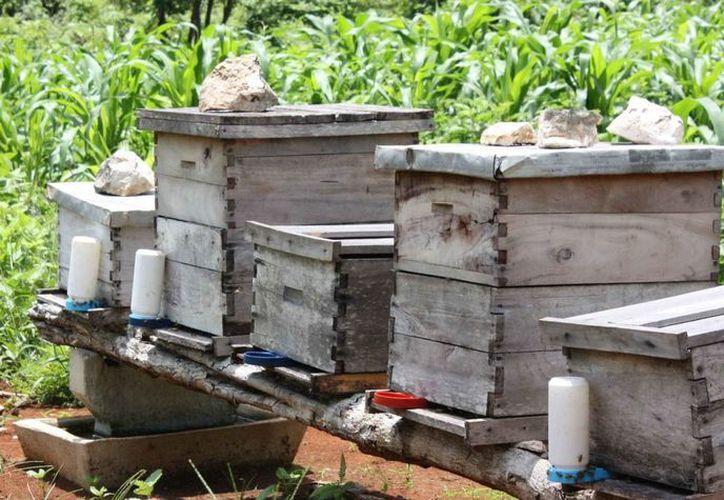 A falta de floración de tajonal se requiere de azúcar para alimentar a las abejas en esta temporada de frío, fechas en que el apicultor debe estar al pendiente de su producción para no resentir las bajas temperaturas. (Carlos Yabur/SIPSE)