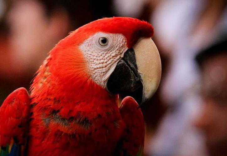 La guacamaya roja es una de las especies con mayor demanda entre los contrabandistas de especies exóticas en México. (Notimex)