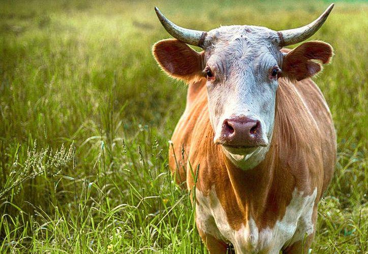 En el video se ve cómo un hombre que porta un cuchillo se aproxima al animal y en ese momento, la vaca reacciona de forma violenta. (Foto: RT)