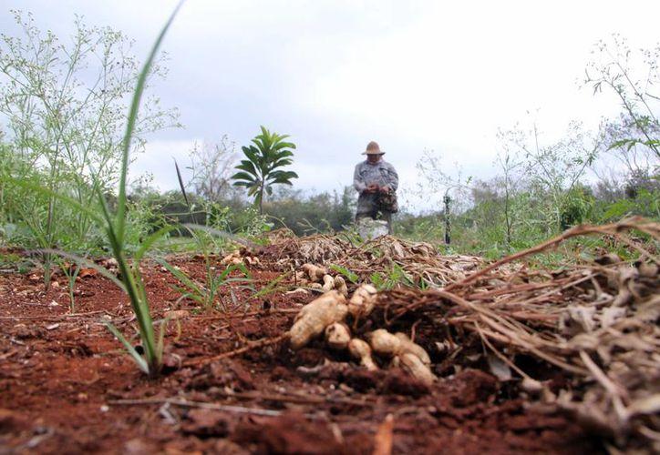 Los químicos usados en los cultivos se filtran al subsuelo y aunado a los desechos de los envases, causa un impacto negativo. (Milenio Novedades)