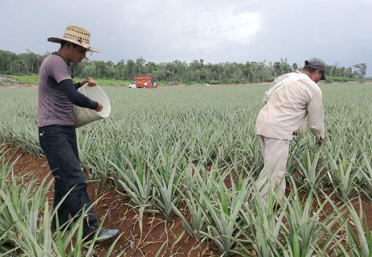 Los apoyos son para la adquisición de bioinsumos agrícolas para la optimización de costos de producción. (Javier Ortiz/SIPSE)