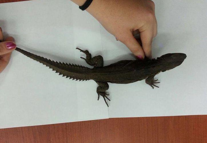Los once ejemplares de Ctenosaura oaxacana tenían como destino Ciudad Juárez, Chihuahua. (Facebook/Profepa)