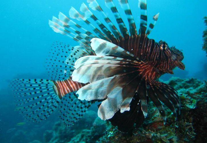 El pez león tiene un margen poblacional que va entre los 100 y 150 individuos por hectárea en el arrecife de Banco Chinchorro. (Ángel Castilla/SIPSE)