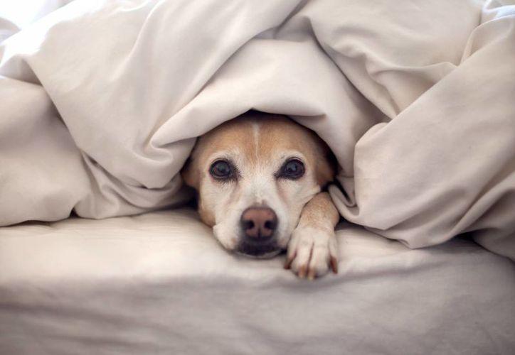 Los fuegos artificiales de Navidad y el año Nuevo ocasionan un grado elevado de estrés entre perros y gatos, lo que provoca que muchos de estos tengan fuertes crisis de ansiedad y otros huyan de sus hogares. (tiempolibre.ec)