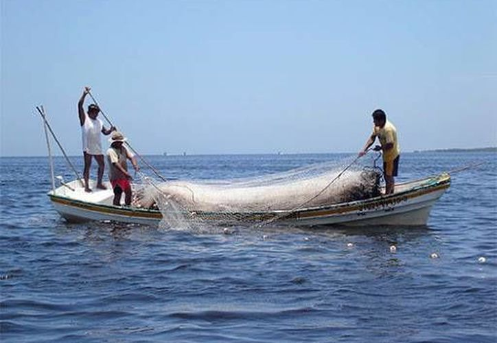 Aunque por primera vez en la historia de la pesquería yucateca la veda del mero durará dos meses, el  Comisionado de Pesca y Acuacultura de Yucatán, Delfín Quezada, considera que no habrá escasez. (Milenio Novedades)