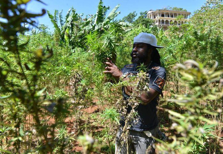 Son varías las islas del Caribe -entre ellas también Puerto Rico, Santa Lucía y San Vicente y las Granadinas- que han comenzado a legislar a favor de la despenalización de la marihuana. (Agencias/Agencias)