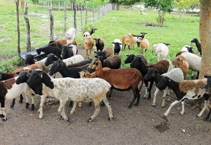 Se apoyarán proyectos como la crianza de borregos, cerdo pelón, aves de traspatio, entre otros. (Milenio Novedades)