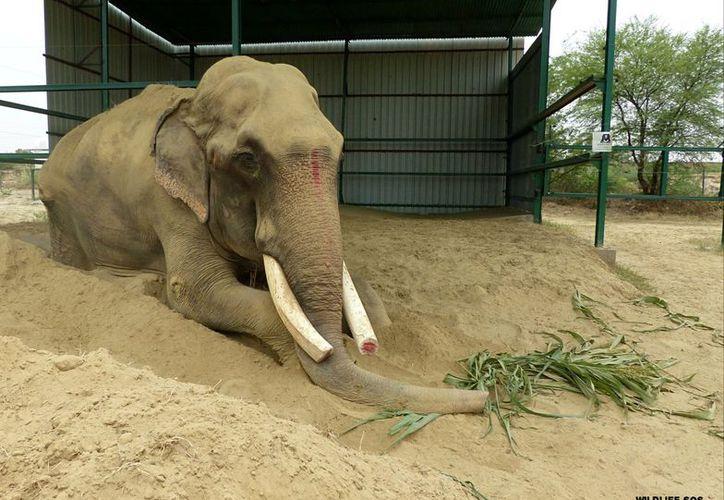 A Gajraj le cortaron los extremos de sus colmillos y lo encadenaron durante más de medio siglo. (Foto: @WildlifeSOS)