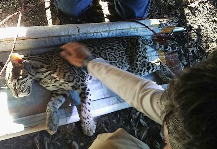 La Profepa valoró al animal para después dejarlo en libertad. El felino es considerado  en peligro de extinción. (Javier Ortiz/SIPSE)