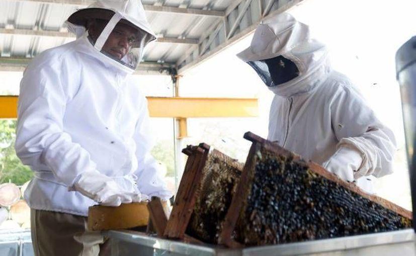 Yucatán es una de las entidades que más contribuyen a que México sea uno de los principales países productores y exportadores de miel a nivel mundial. (Foto de archivo de SIPSE)