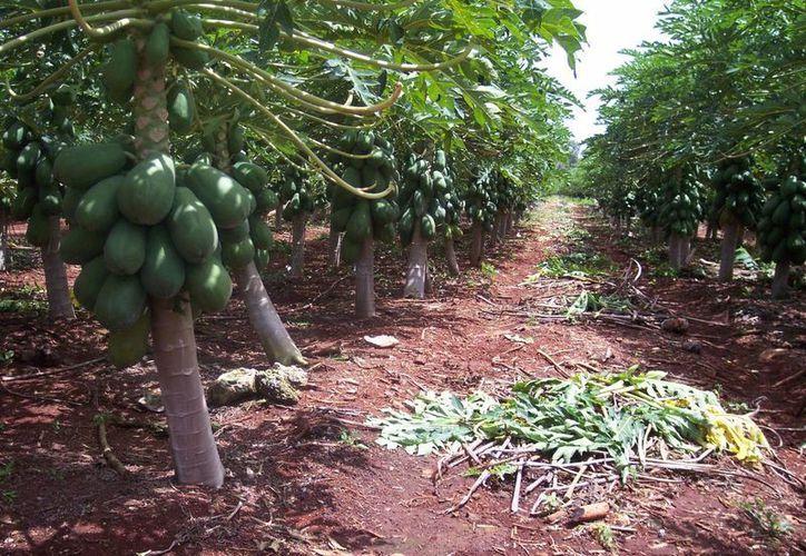La producción de granos en el campo a disminuido por políticas erróneas. (Juan Rodríguez/ SIPSE)