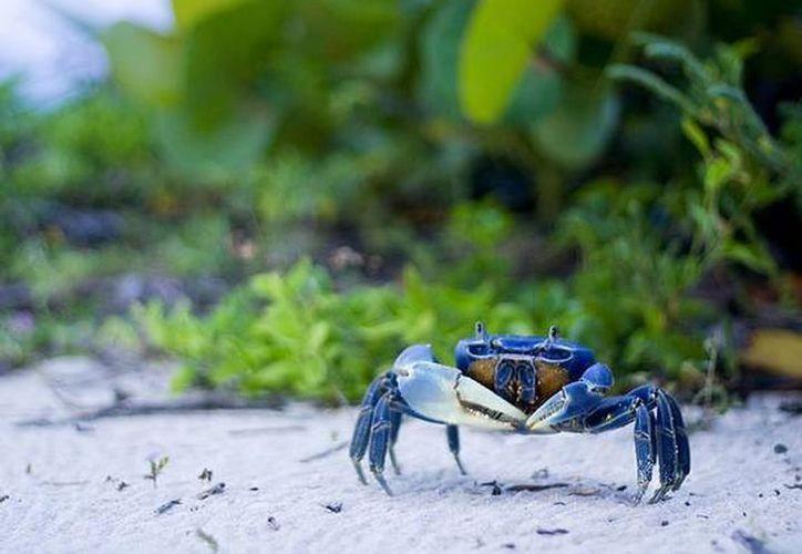 Realizarán una jornada de Protección al Cangrejo Azul en Cancún. (Archivo/SIPSE).