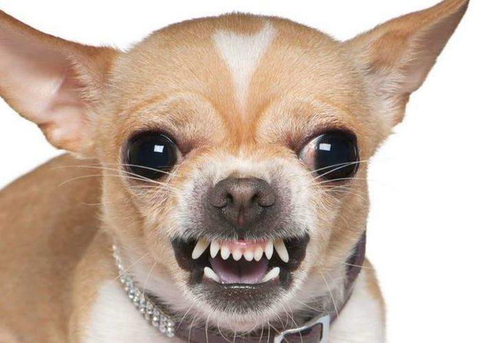 Los dueños de los perros chihuahua jamás pensarían que tienen una raza muy agresiva y neurótica. (YouTube)