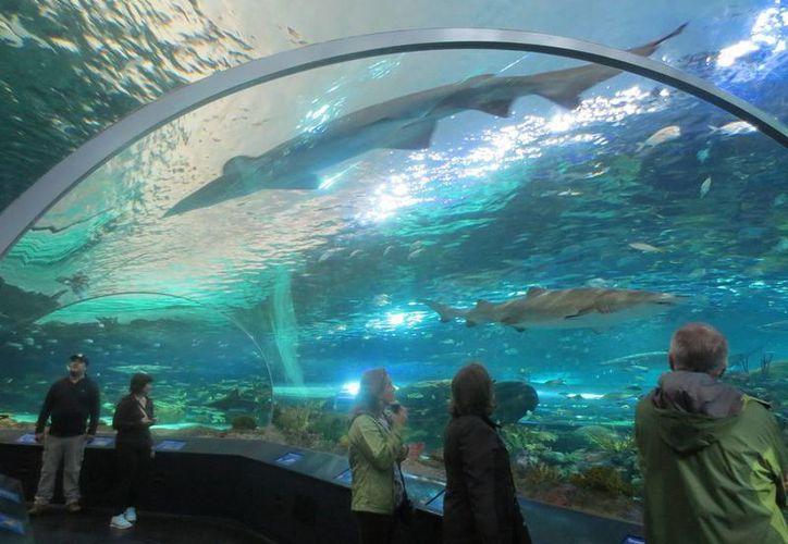 El Ripley´s Aquarium de Canadá exhibe animales acuáticos de varias regiones marinas y ofrece una serie de actividades interactivas para niños, jóvenes, adultos y personas de tercera edad. (Notimex)