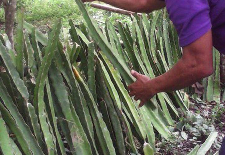 La comunidad de Uxuxubi comenzará a producir pitahaya. (Adrián Barreto/SIPSE)