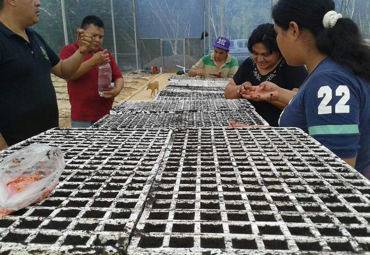 Los 30 invernaderos establecidos den Carrillo Puerto y Morelos generan cada uno cerca de 20 toneladas de chiles anuales. (Jesús Caamal/SIPSE)