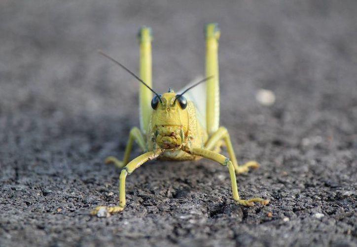 La plaga de la langosta afecta las hojas y la producción de maíz, porque en la etapa de la espiga es cuando pega el grano. (Alejandro García/SIPSE)