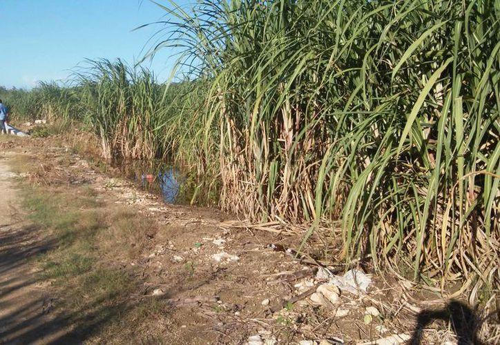 Las precipitaciones de los últimos días han dejado mucha humedad que perjudica a los nuevos plantíos de la vara dulce. (Carlos Castillo/SIPSE)