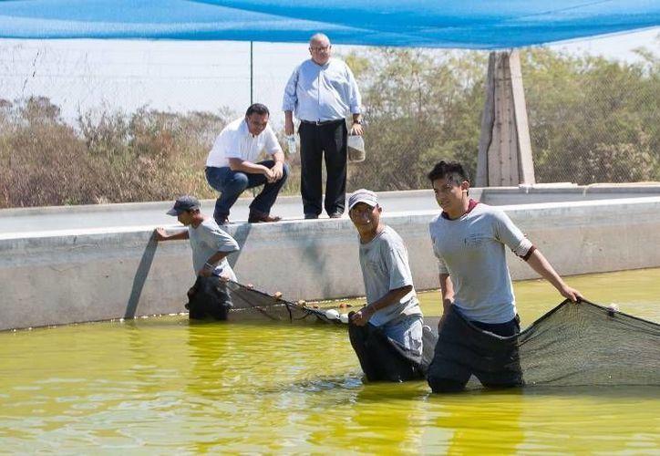 """El Gobernador visitó la granja acuícola """"Emmanuel"""", en Hunucmá, la cual exporta peces de alimento mediante apoyo y financiamiento del gobierno estatal. (Cortesía)"""