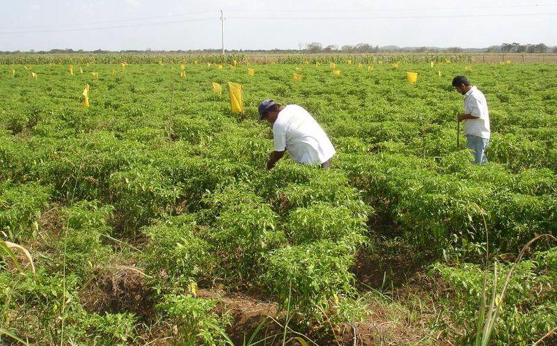 Oro verde\' comienza a perder su valor: Cultivo del jalapeño a punto ...