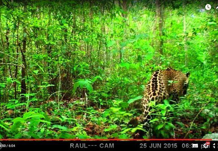 Los jaguares han sido captados en zonas cercanas a los desarrollos urbanos en Quintana Roo. (Cortesía/Raúl Padilla/SIPSE)