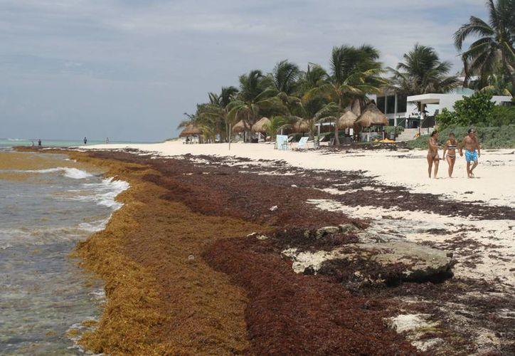 El Sindicato de Taxistas de Playa del Carmen se sumó a la recolección de sargazo de las playas de la Riviera Maya. (Adrián Barreto/SIPSE)