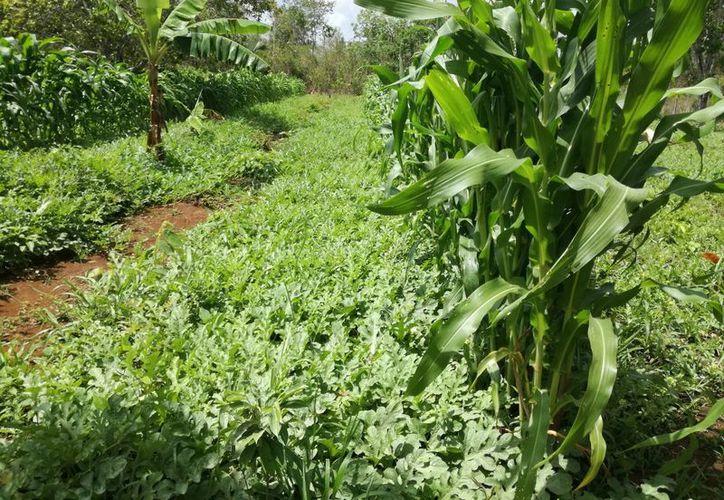 Los campesinos en el municipio de Felipe Carrillo Puerto saben que pueden afectar a sus cultivos. (José Chi/SIPSE)