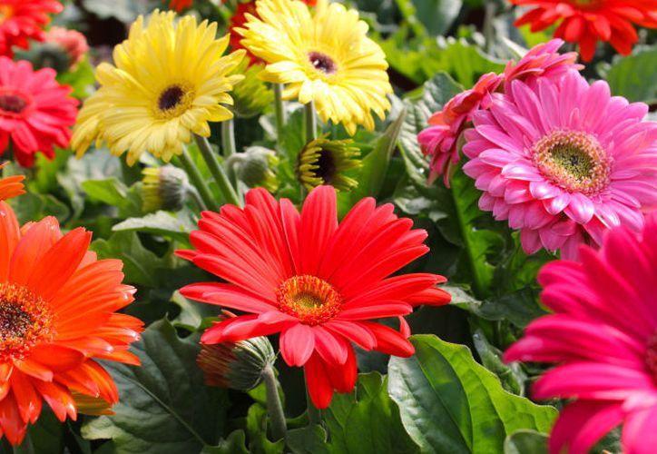 Esta flor se cosecha en invernaderos, es la segunda en la preferencia de los mexicanos. (Contexto)