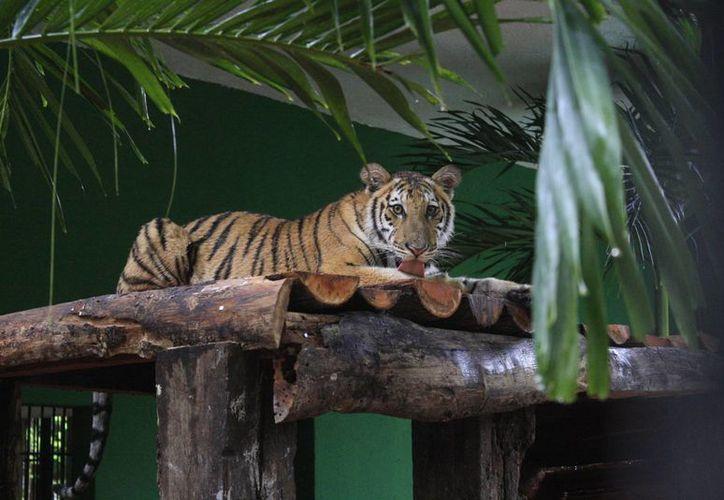 Autoridades del zoológico aseguraron que cuentan con los recursos suficientes para mantener al tigre.  (Harold Alcocer/SIPSE)