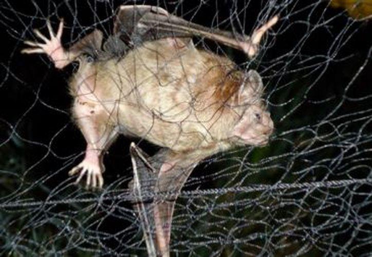 El murciélago que da derriengue y rabia, le chupa sangre a la res. (López Dóriga Digital)