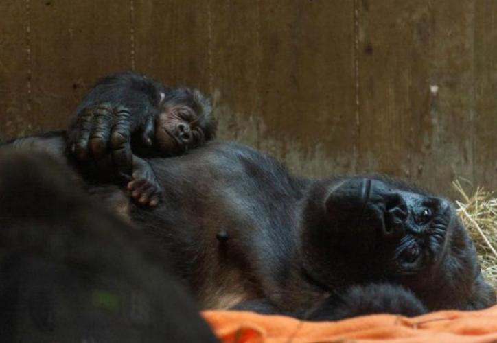 """""""Moke"""", es el primer bebé gorila que nace en los últimos nueve años. (Foto: Perú21.com)"""