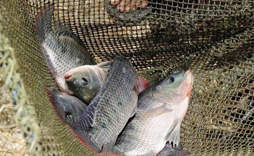 Se han tomado 97 muestras de pescados y mariscos, alimento crudo y preparado en establecimiento fijos y semifijos. (Redacción/SIPSE)