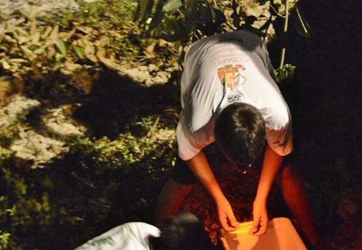 Apoyado por un voluntario, el coordinador de Manifestación de Impacto Ambiental, Lemuel Mena Vega, recolectó los huevos. (Gustavo Villegas/SIPSE)