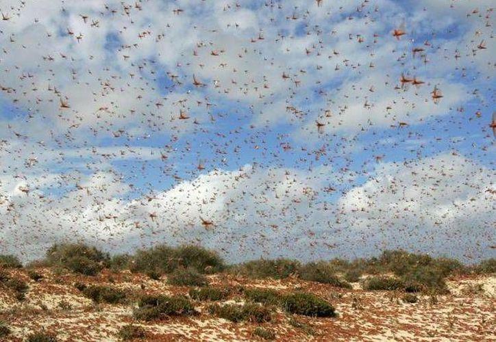 De acuerdo con la SSP, los insectos huyen de los incendios. (Imagen de archivo de plaga de langosta)