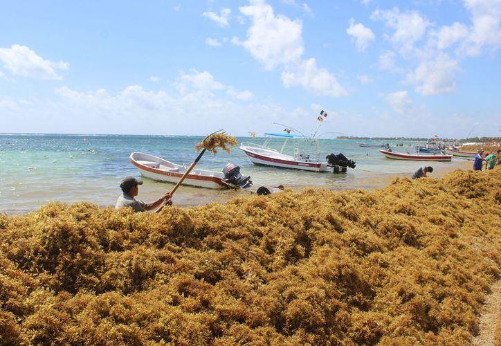 Decenas de trabajadores recogen las toneladas de sargazo que ha arribado a las costas. (Foto: Sara Cauich)