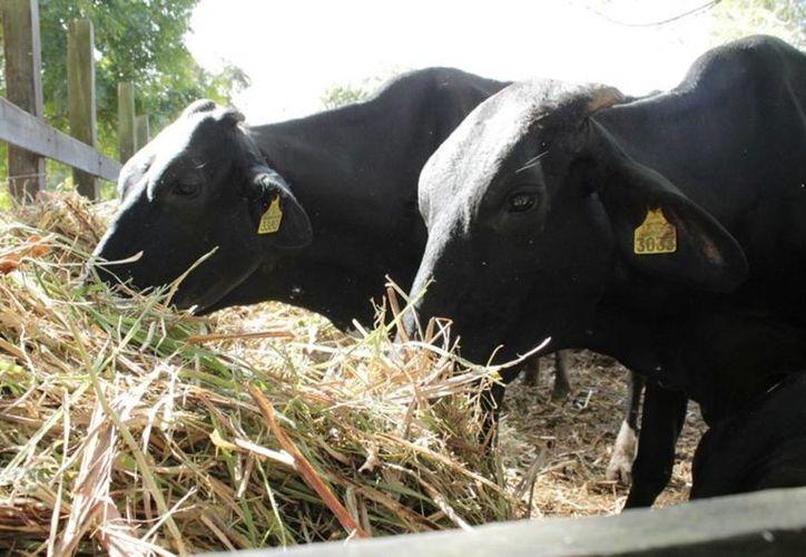 Con la producción de la lenteja de agua se elaborarán alimentos balanceados para el crecimiento exponencial del ganado. (Harold Alcocer/SIPSE)